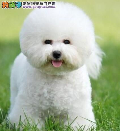 法国卷毛比熊犬出售 广州哪里有卖纯种可爱比熊宠物狗