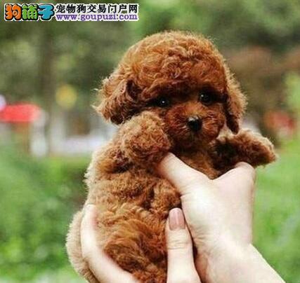 纯正血统的韩系成都泰迪犬直销价格出售 已做好驱虫