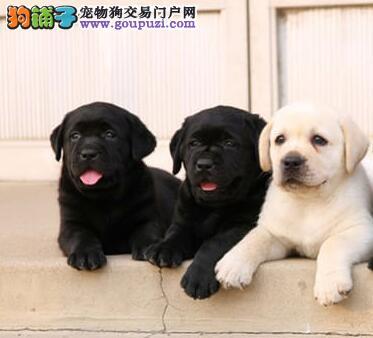 正规养殖基地出售成都拉布拉多犬 保证冠军级拉登血系