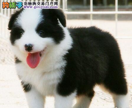 专业正规犬舍热卖优秀天津边境牧羊犬微信咨询看狗