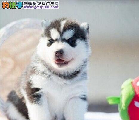 南通实体狗场出售赛级品质的哈士奇幼犬 非诚勿扰