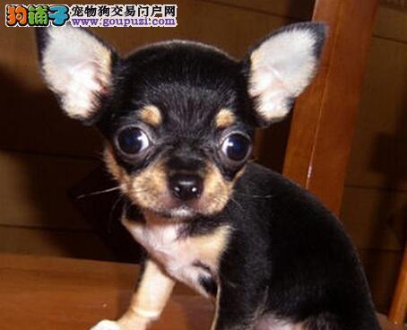 出售极品吉娃娃幼犬完美品相签订协议包细小犬瘟热