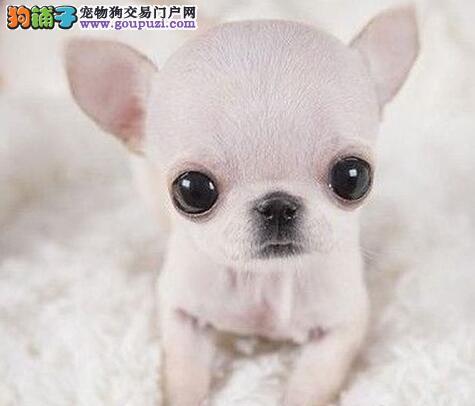 大眼睛漂亮可爱吉娃娃宝宝石家庄出售 动作敏捷 活泼
