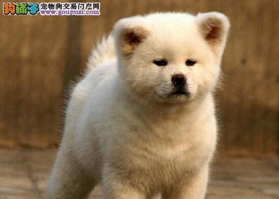 台州繁殖基地直销赛级秋田幼犬 保健康可刷卡可送货