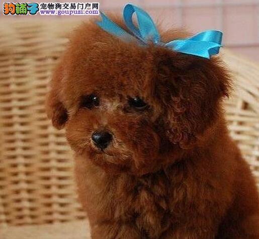 台州养殖基地低价出售泰迪犬 多种颜色多种血系供选购