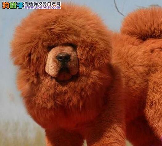 实体獒园出售赛级双血统的台州藏獒幼崽 请您放心选购