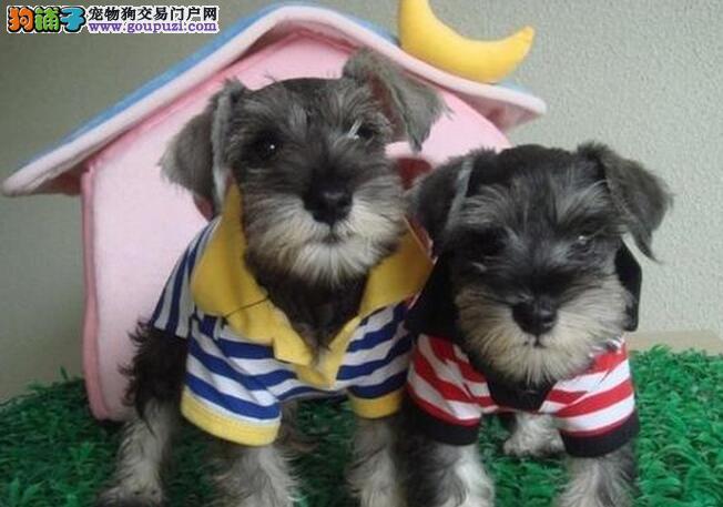 顶级优秀狗场出售武汉雪纳瑞 颜色多价格低廉