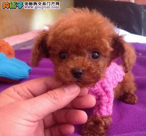 多只三个月的台州贵宾犬找爸爸妈妈 喜欢可上门选购犬