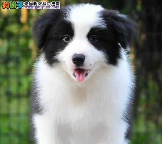 高智商七白到位的台州边境牧羊犬找新家 终身免费售后