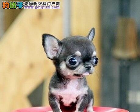 台州狗场专业繁殖精品吉娃娃犬 可见狗父母看种犬