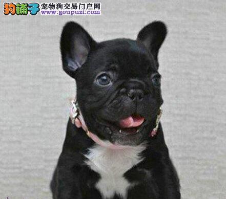 精品纯种青岛法国斗牛犬出售质量三包微信看狗真实照片包纯