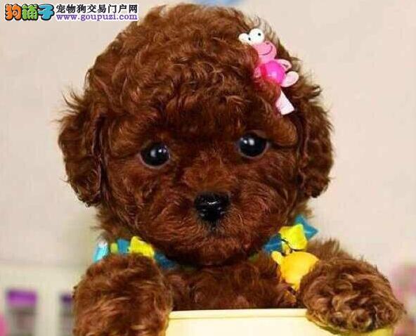 玩具茶杯超小体的吉林泰迪犬热卖中 签协议保终身