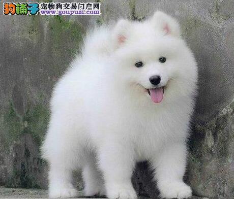 高品质微笑天使青岛萨摩耶犬舍热销 公母都有多只可选