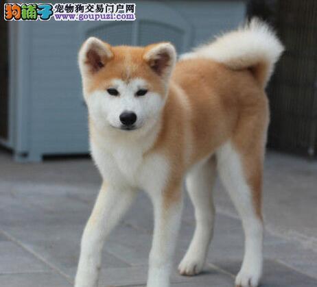 优惠促销纯日系哈尔滨秋田犬赛级品质毛色亮丽