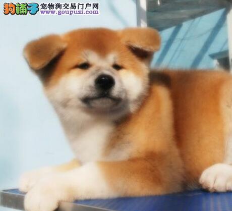 顶级优秀的纯种秋田犬通化热卖中品相一流疫苗齐全