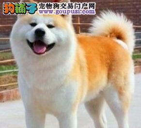 出售高品质极佳品相的青岛秋田犬 签协议送狗用品