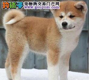 出售合肥秋田犬保证绝对健康和纯种可做终生售后服务