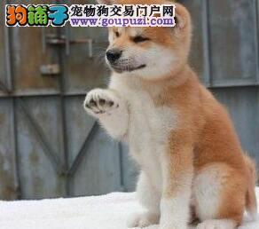 低价出售南宁秋田犬 加微信可直接开视频看狗
