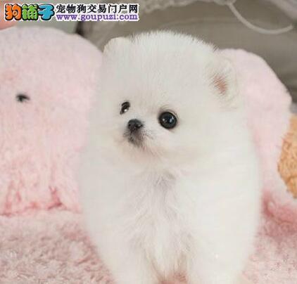 济宁犬舍出售哈多利纯种博美犬体型小性格活泼