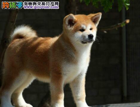 纯血统秋田犬幼犬、血统认证保健康、签署合同质保