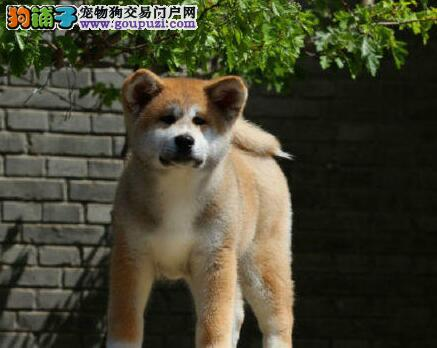 重庆哪里可以买到秋田犬 秋田犬价格 多少钱一只