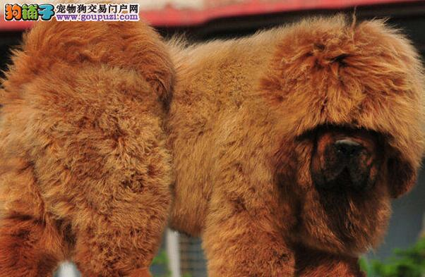 宁波专业繁殖出售铁包金大狮头藏獒 纯正血统霸气十足