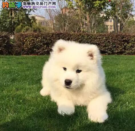 出售萨摩耶幼犬、真实照片视频挑选、等您接它回家