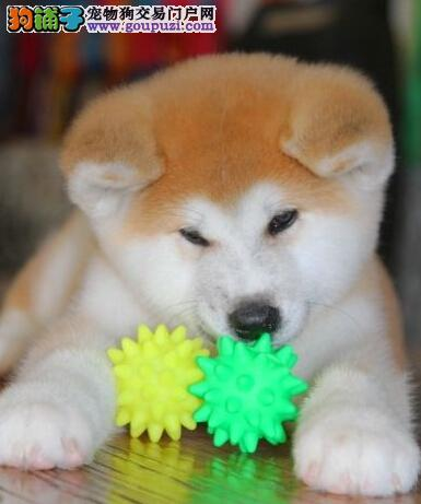 南京养殖基地出售顶级精品秋田犬 驱虫已定期做好