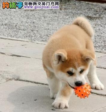 苏州哪里可以买到纯种的秋田犬 秋田犬价格
