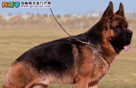 纯种犬繁殖基地出售 德牧幼犬