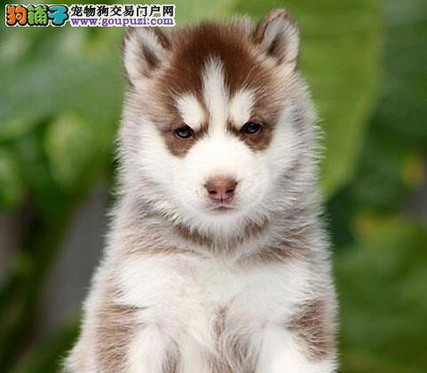 三个月的青岛哈士奇幼犬低价出售 可随时与我电话联系
