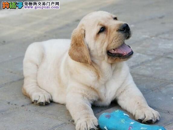 低价出售血统纯正的福州拉布拉多犬 保证品质完美售后