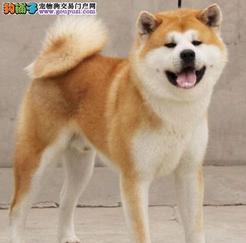 正规狗场犬舍直销秋田犬幼犬签订终身协议
