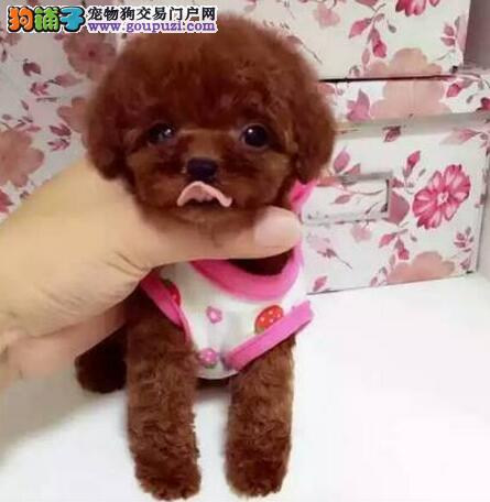 杭州犬舍出售纯种贵宾幼犬价格 杭州哪里卖贵宾多少钱