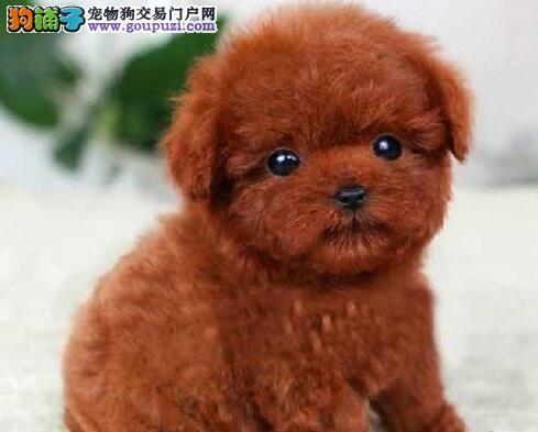 血统纯正身体健康的常州泰迪犬找爸爸妈妈 签购犬协议