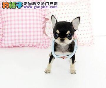 上海哪里有出售吉娃娃的 吉娃娃价格多少钱