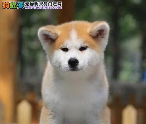 温州实体狗场直销身体健康的秋田犬 纯正血统保证品质