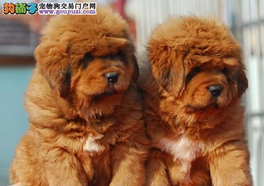 热销多只优秀的纯种黔南州藏獒微信视频看狗