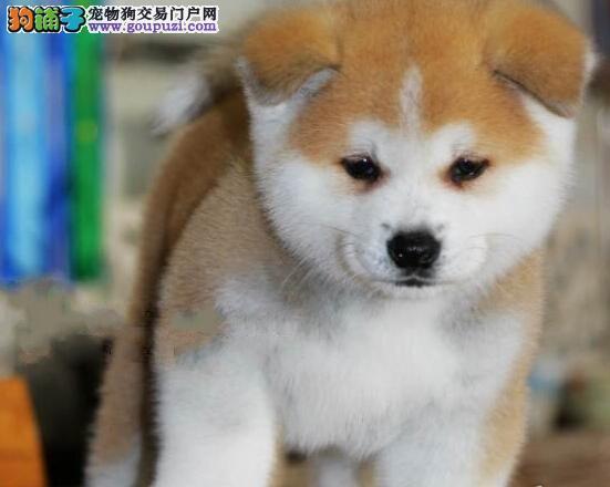 莆田市出售精品秋田犬 包健康签协议 疫苗已打 送用品