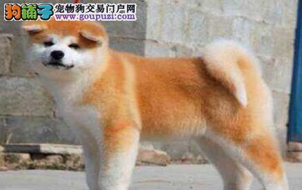 大型犬舍直销出售日系福州秋田犬 可接受预定保证质量