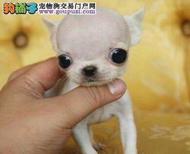 直销吉娃娃幼犬 可看狗狗父母照片 诚信经营保障