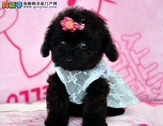 低价转让深红色超小体的保定泰迪犬 数量有限速来选购