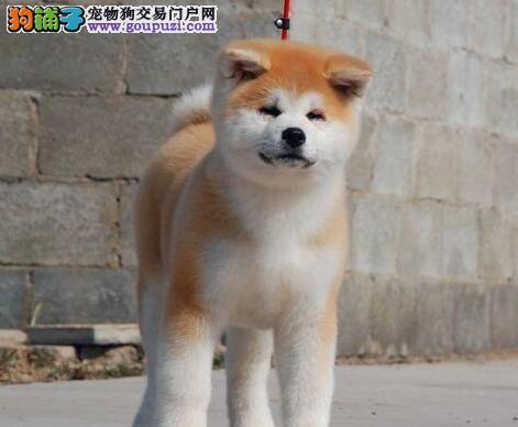 品种优良身体健康的秋田犬热卖中 石家庄市内送货
