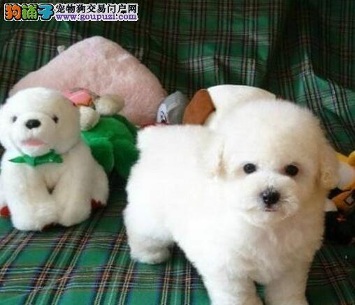 出售一只 超可爱的比熊宝宝