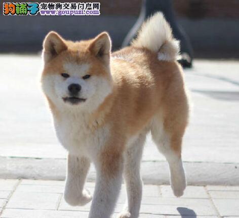 杭州专业繁殖纯种犬基地售顶级秋田犬三针齐 质保三年