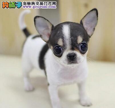 苹果头大眼睛的保定吉娃娃幼犬找新主人 签订购犬协议