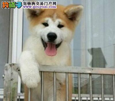 出售纯正日系秋田犬 成都正规犬舍低价转让有防疫证明