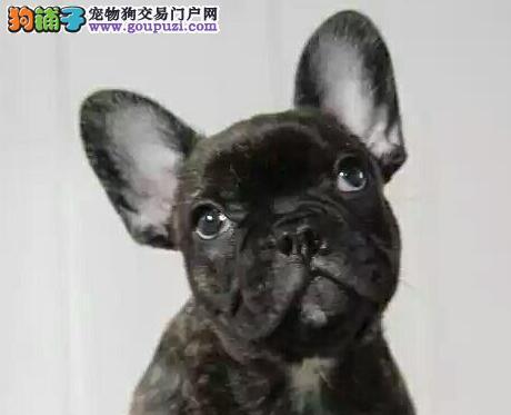 精品优质纯种斗牛犬 福州地区可包邮可赠送狗笼子