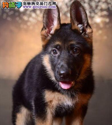 昆明养殖基地出售锤系黑背德国牧羊犬 随时电话联系我