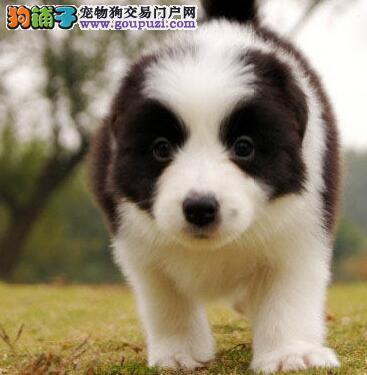 顶级品质七白到位天津边境牧羊犬低价出售 血统保纯